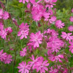 Red Champion (Silene dioica)