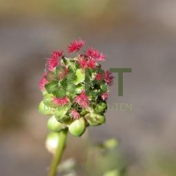 Salad Burnet (Sanguisorba minor)